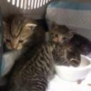 Kolejne dwa mioty kociąt pod naszą opieką